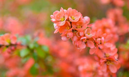 Red spring blossom Stock Images