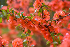 Red spring blossom Stock Image