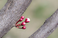Red spring buds Stock Photo