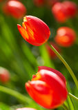Red spring bulbs Stock Photos