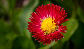 Red Spring Flower Royalty Free Stock Photo