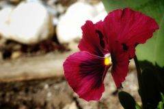Red spring flower Royalty Free Stock Image