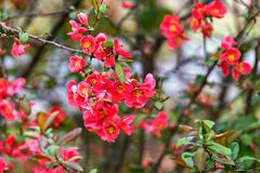 Red spring flowers. Close up springtime Redbud blooms royalty free stock photos