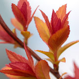 Red spring leafs Royalty Free Stock Images