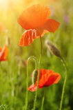 Red spring poppy Stock Images