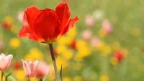Red spring tulip stock video