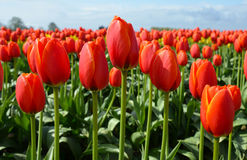 Red Spring Tulips Royalty Free Stock Photos