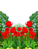 Red spring tulips Stock Photography