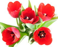Red spring tulips Royalty Free Stock Image