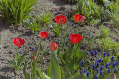 Red spring tulips bloomed Stock Images