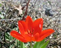 A red springtime tulip Royalty Free Stock Photos
