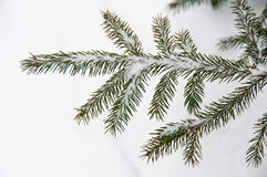 Red spruce branches covered with snow Stock Image