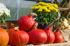 Red squash on display at a fall festival Royalty Free Stock Photo