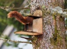 Red squirel. Scirius vulgaris, curious red squirrel eating Stock Images