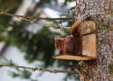 Red squirel. Scirius vulgaris, red squirrel eating Stock Images