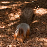 Red Squirel. Red tiny Squirel searching for food Stock Images
