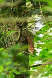 Red squirel, on the tree trunk.  Stock Images