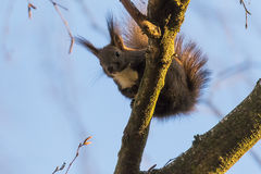 Red squirel, on the tree trunk Royalty Free Stock Photos