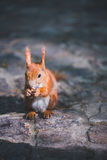 Red squirel. Wild red squirrel in park Stock Image