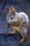 Red squirell Stock Photos