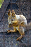 Red squirell Royalty Free Stock Photos