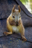 Red squirell Royalty Free Stock Photography