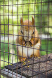 Red squirell Stock Photography