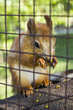 Red squirell Stock Image