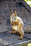 Red squirell Royalty Free Stock Images