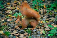 Red squirell close up Sciurus vulgaris Stock Photos