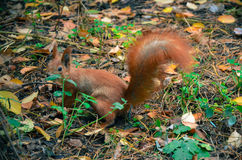 Red squirell close up Sciurus vulgaris Royalty Free Stock Images