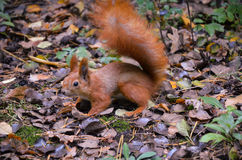 Red squirell close up Sciurus vulgaris Stock Images