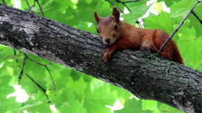 Red squirell