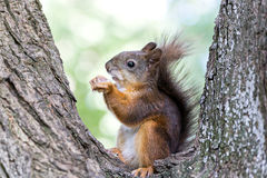 Red squirell with nut in her hands on tree Royalty Free Stock Photo