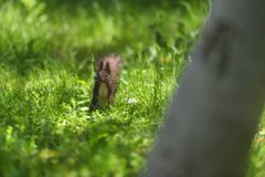 Red squirell Sciurus vulgaris in green grass of mountain forre Royalty Free Stock Photography