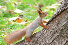 Red squirre Stock Photo