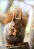 Red Squirre. A cute little red squirrel stock photography
