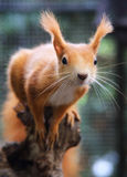 Red Squirre. A cute little red squirrel royalty free stock photography