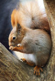 Red Squirre. A cute little red squirrel royalty free stock photo
