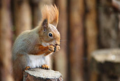 Red Squirre. A cute little red squirrel stock photo