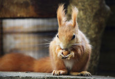 Red Squirre. A cute little red squirrel royalty free stock images