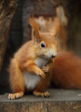Red Squirre. A cute little red squirrel stock photos