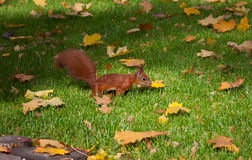 Red squirre jumping in an autumn grass. Eurasian red squirrel (Sciurus vulgaris) jumping in an autumn grass royalty free stock photo