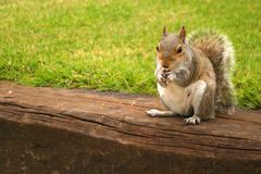 Red Squirrel. A british red squirrel Royalty Free Stock Photo