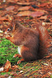 Red Squirrel. A Red Squirrel eating a nut Royalty Free Stock Photo