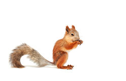 Red squirrel. On white background royalty free stock image