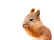 Red squirrel. On white background Royalty Free Stock Photography