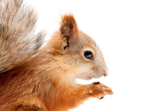 Red squirrel. On white background Stock Image