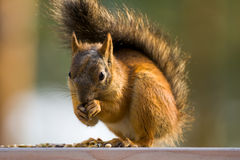 Red squirrel. A red squirrel eating some seeds stock photos
