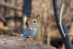 Red Squirrel. Head Peeking Over Stump In Morning Sun Royalty Free Stock Photo